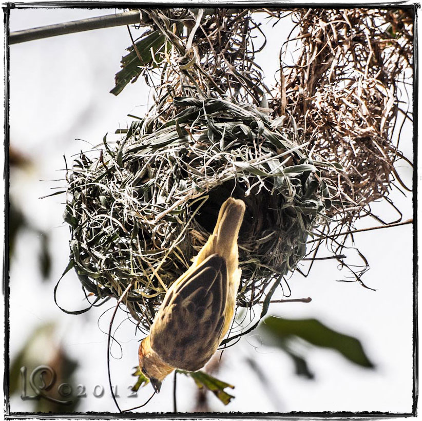 One more nest builder…
