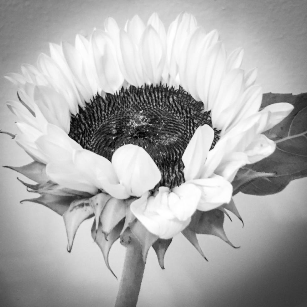 20160720-Sunflowers_07-19-16_010